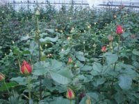 Rosenkulturen