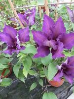 63-Clematis lila